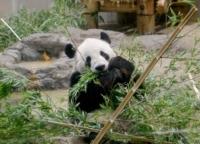 【祝】上野動物園のパンダ、シンシンとリーリーの双子の赤ちゃんが誕生!シャンシャンがお姉ちゃんに