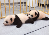 上野動物園双子の赤ちゃんパンダの名前が決定!雄「シャオシャオ(暁暁)」、雌「レイレイ(蕾蕾)」さらには重大発表も